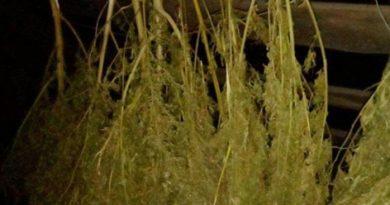 Гомельчанин хранил 12 кг марихуаны в Быховском районе