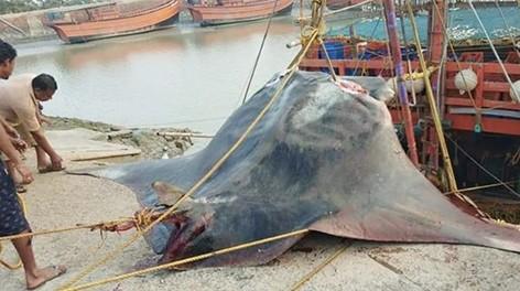 Вот это улов! В Индии поймали рыбу с рекордным весом
