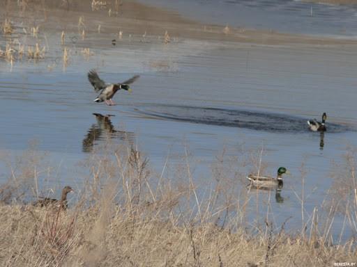 Скрадки, манки и чучела обязательны во время весенней охоты на гусей и уток
