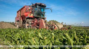 Уборка сахарной свеклы началась в Беларуси